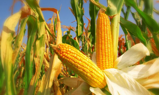 Le Commodities: il Corn